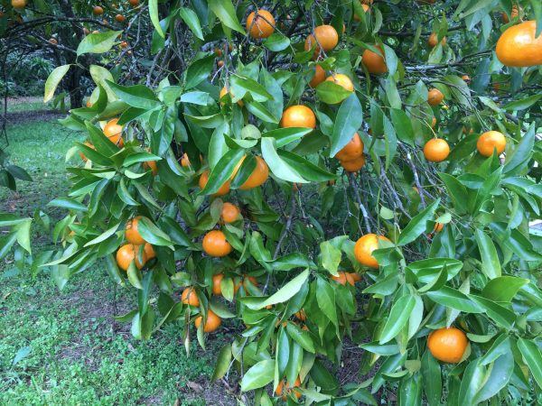 Photo of Seville oranges on the tree